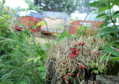 Lichen rouge